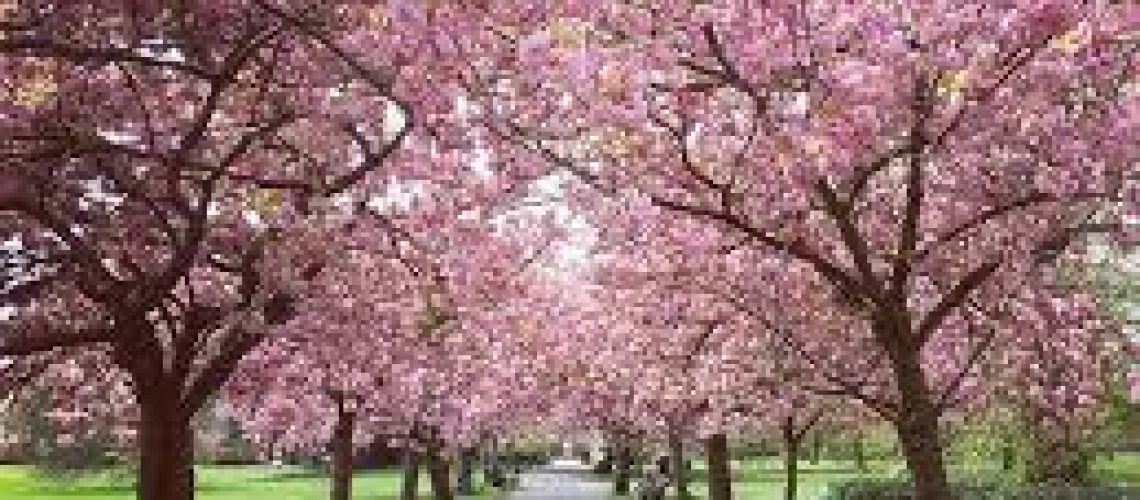 Park Pink Trees